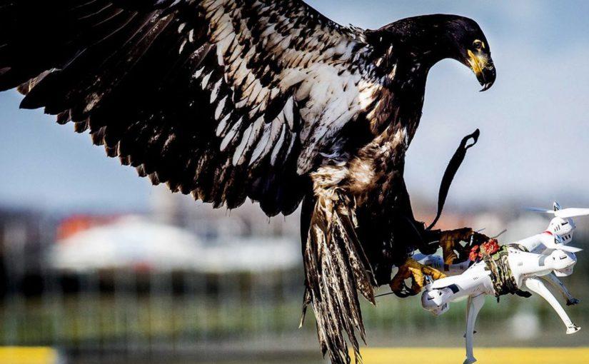 La police néerlandaise licencie ses aigles anti-drones